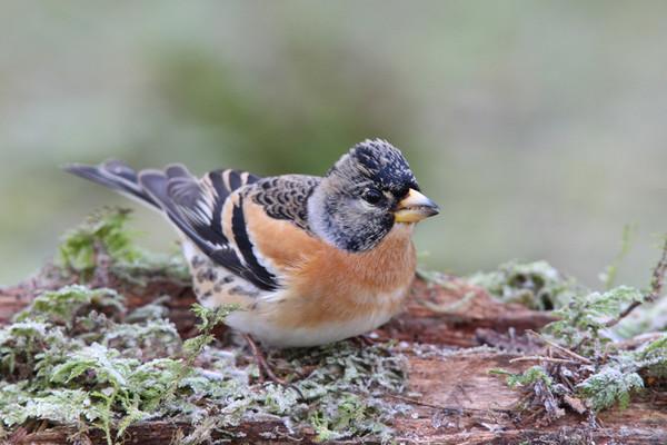 Биолог, изучающий волков,  разгадал 20-летнюю загадку птиц