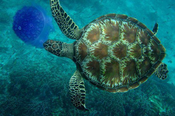 Любопытные факты о морских черепахах
