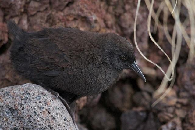 Загадки природы: как нелетающая птица добралась до острова Неприступный