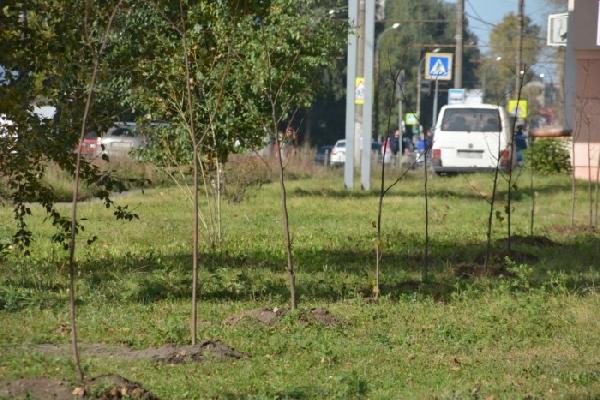 На аллее в центре Иванова вырубят два десятка лип