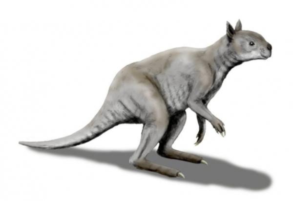 Ископаемые кенгуру оказались австралийскими сумчатыми