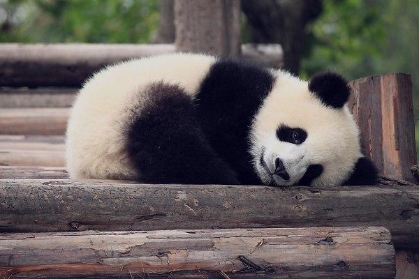 Почему панды вымирают?