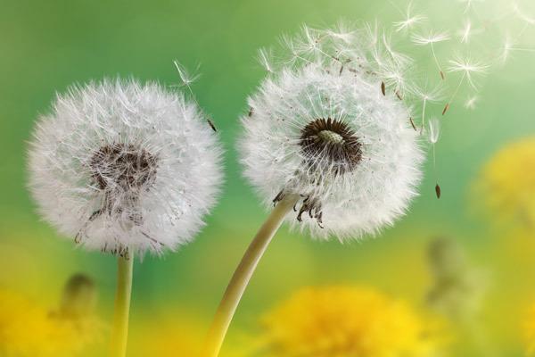 Почему семена одуванчика так хорошо летают?