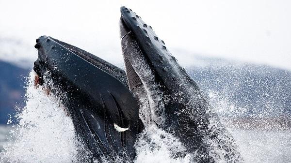 Горбатый кит показал, как обманывать селедку
