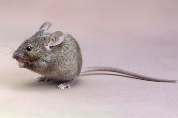 Новая Зеландия собирается истребить всех крыс на своих островах