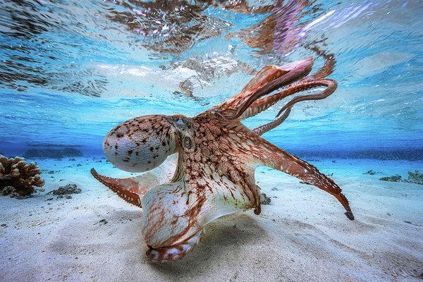 Осьминоги строят подводные