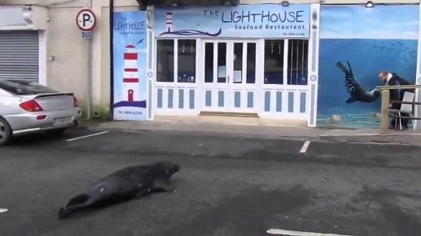 Ирландский тюлень предпочитает питаться в ресторане