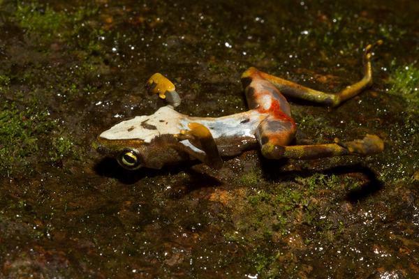Уничтожающий лягушек грибок гораздо опаснее, чем предполагали ученые