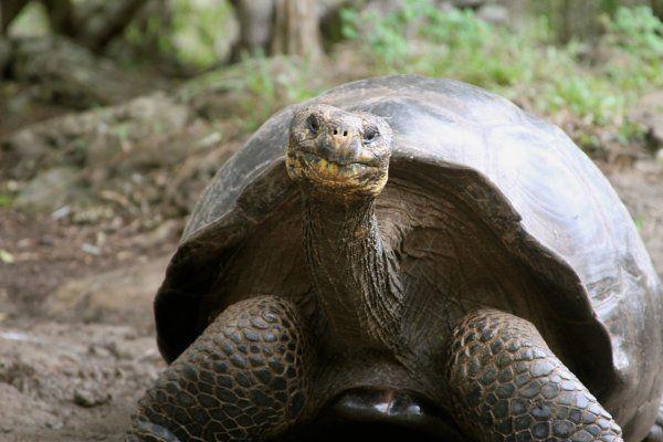 Второй шанс для жизни вымершим слоновым черепахам дают ученые-генетики