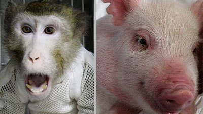 Генетики: пересадка сердца свиньи обезьяне прошла удачно
