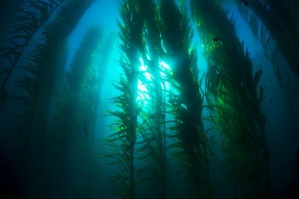 Последствия потери водорослей будут такими же, как и вырубка всех деревьев на Земле