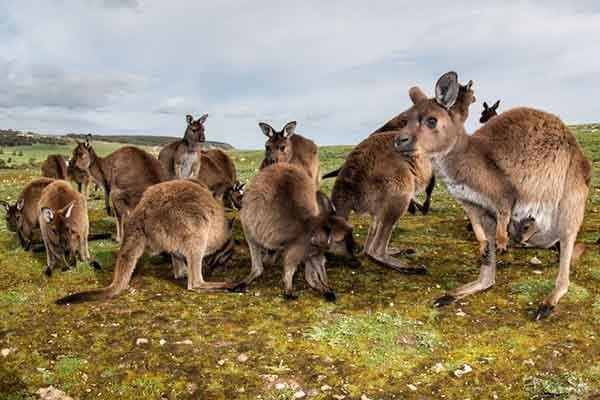 Австралийцам нужно есть кенгуру, чтобы спасти свой материк