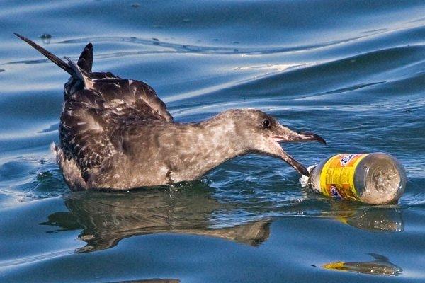 Почему птицы едят пластик в океане?
