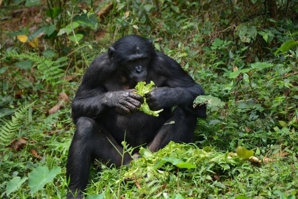 Питание шимпанзе обусловлено эволюцией