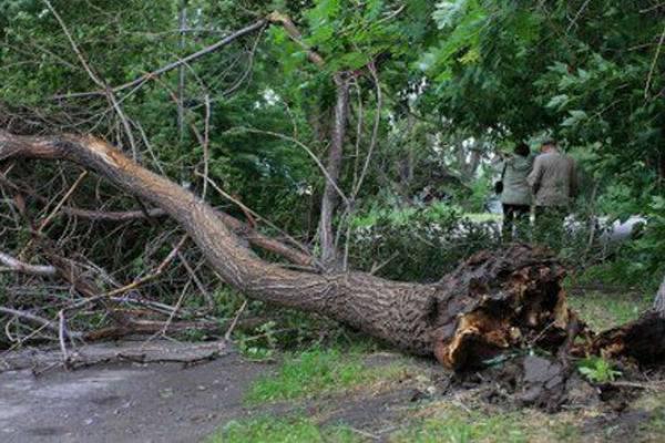Городские деревья быстро растут и погибают