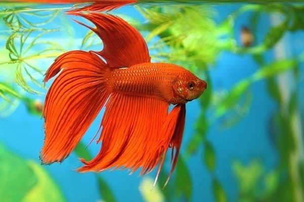 Как аквариумные золотые рыбки вредят экосистеме