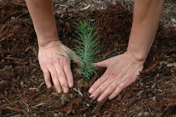 В Удмуртии будет высажено примерно 15 гектаров леса