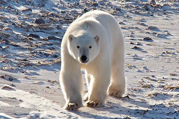 Ученые РФ и Америки обсудят на конференции сохранение популяции белых медведей