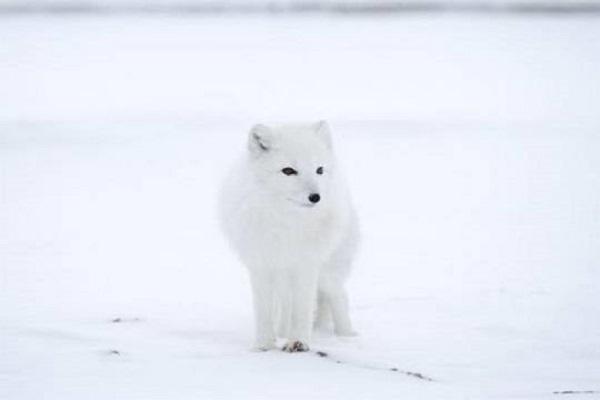 Изменение климата в Арктике привело к миграции животных