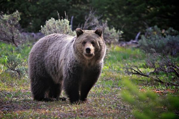 Жители Сыктывкара сняли на видео вышедшего в город медведя