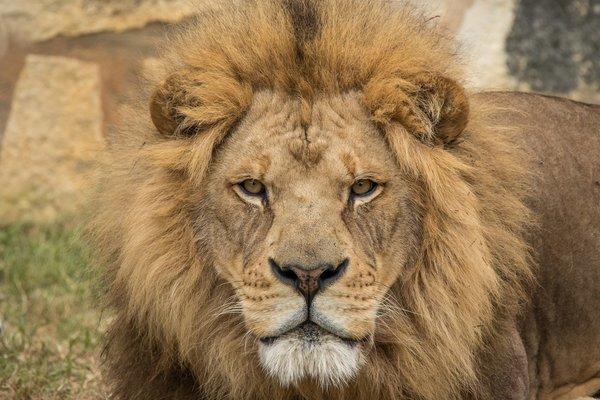 Защитники природы бьют тревогу: собачий вирус и паразиты убили 24 льва
