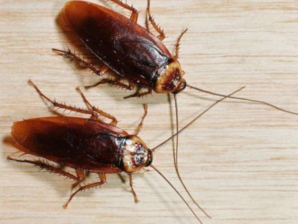 Специалисты выяснили, как излучение от компьютера влияет на тараканов