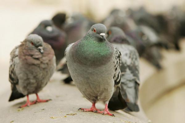 Когда исчезнут знаковые виды животных, голуби и крысы унаследуют Землю