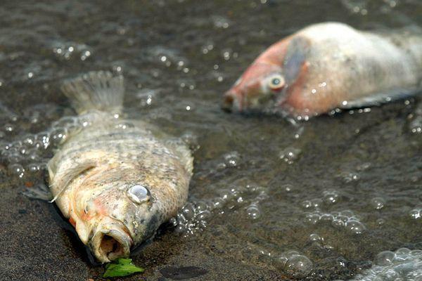 Лососи в загрязненных водоемах теряют чувство страха