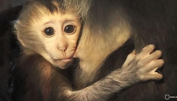 Китайские ученые вживили человеческий ген в мозг обезьян
