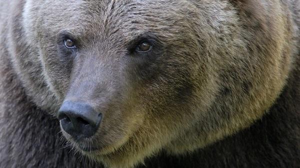 В Ингушетии сбежавший медведь напал на двоих человек