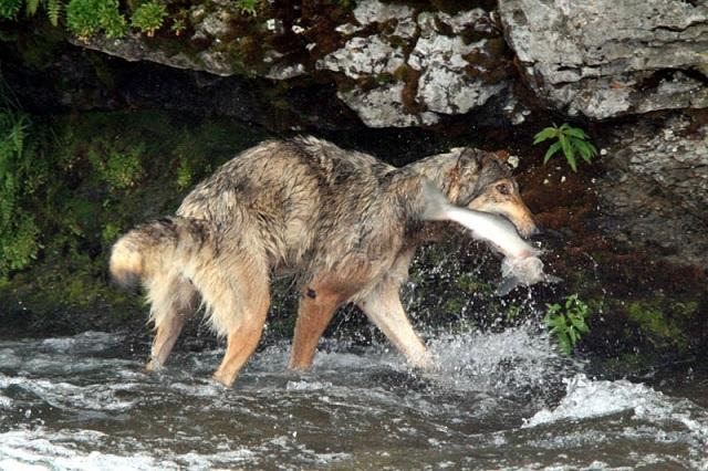 Волки тоже умеют ловить рыбу