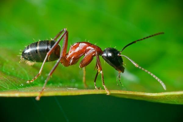 Что общего у огненных муравьев и кетчупа: интересные факты из жизни насекомых