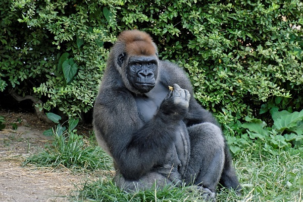 Социальное поведение равнинных горилл похоже на человеческое