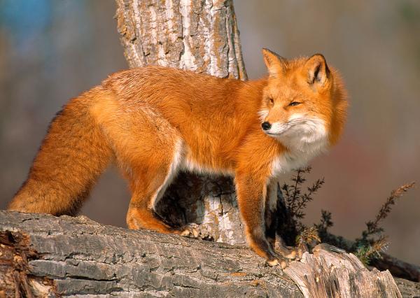 Жителей Петербурга просят не трогать и не кормить лис