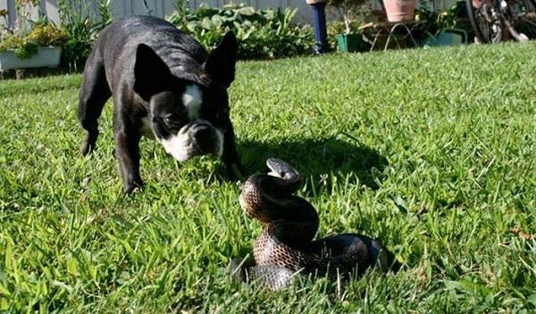 Четвероногие друзья человека не разделяют нашего страха перед змеями