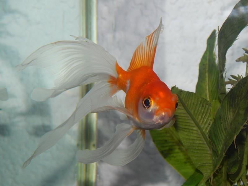 Безобидные золотые рыбки объявлены врагами человечества