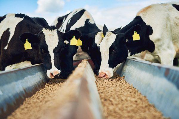 Ученые посадили коров на диету, чтобы снизить выбросы метана в воздух