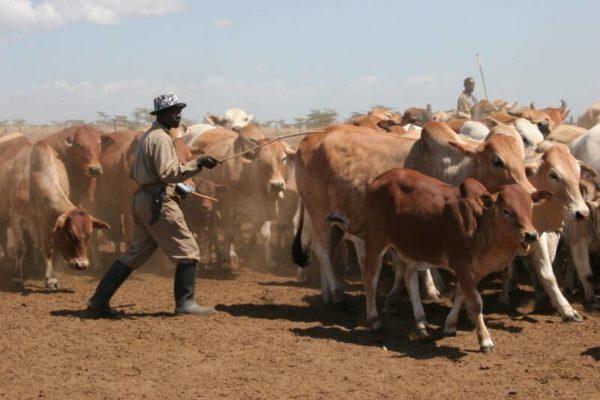 Распространение скотоводства в Древней Африке