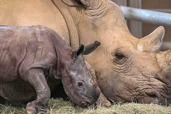 Ученые создали жизнеспособные эмбрионы из последних двух северных белых носорогов в мире