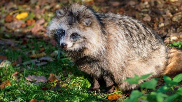 В Ленинградской области диких животных вакцинируют от бешенства