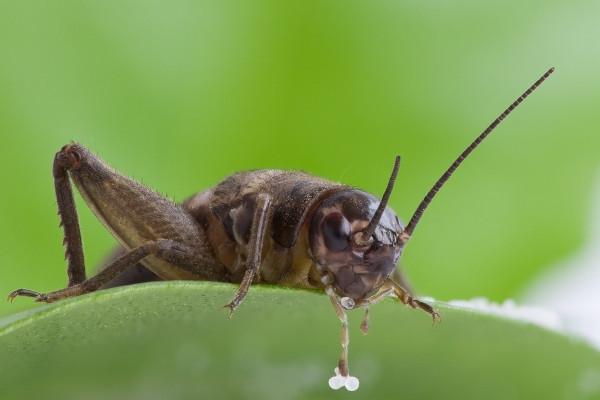 Городской шум защищает сверчков от паразитических мух