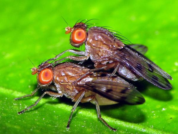 Фруктовые мухи помогут специалистам победить старение