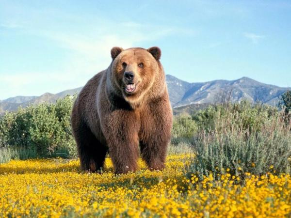 В Красноярском крае медведь загнал туристов на скалу