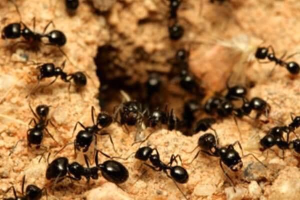 Муравьиные колонии помнят то, что отдельные муравьи забывают