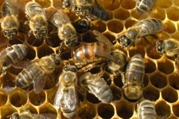 Появилась первая в мире вакцина для пчел