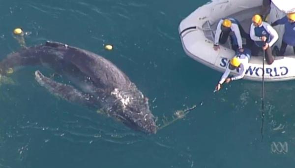 В Сиднее спасли запутавшегося в сетях китенка