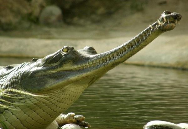 Вымирающие крокодилы гавиалы