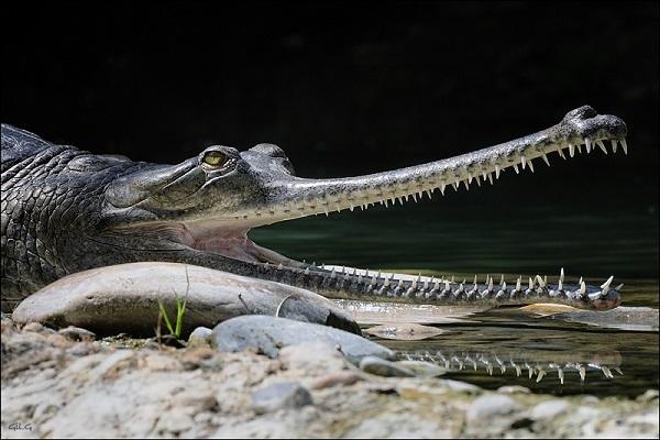Вымирающие крокодилы гавиалы. 3717.jpeg