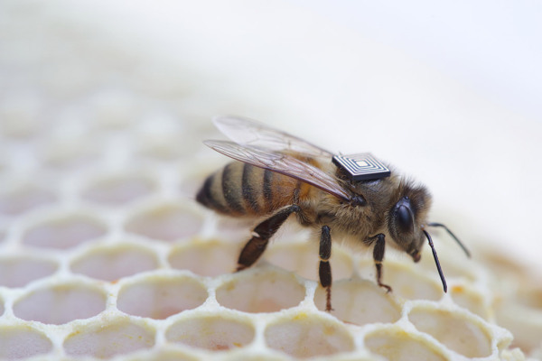 В США пчел