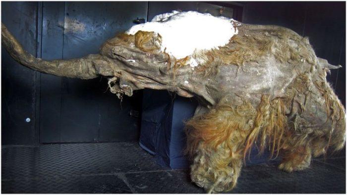 Возрождение шерстистого мамонта - правда или вымысел?